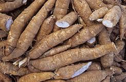 Harvest of Cassava